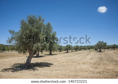 europe, italy, sicily, ragusa, scicli, country landscape in sicily, olive trees - stock photo