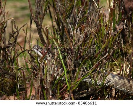 European adder crawling through a bilberry bush - stock photo