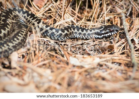 European adder or Vipera berus on forest floor in Sweden during spring - stock photo