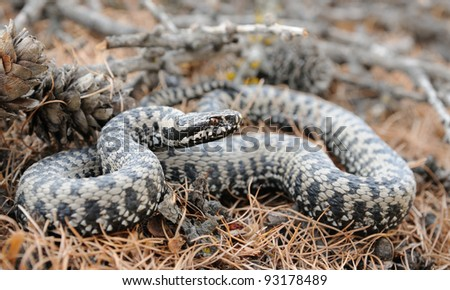 European adder (Vipera berus) on larch blades. Switzerland. - stock photo