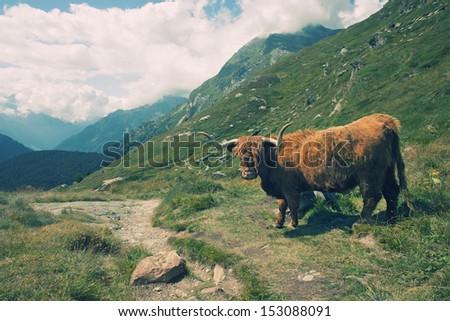 European alpine landscape with highland cow - stock photo