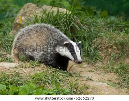 European Badger cub - stock photo