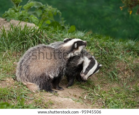 European Badger Cubs playing in English countryside - stock photo
