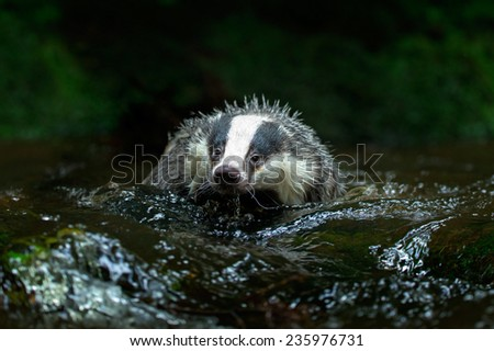 European badger in forest creek - stock photo