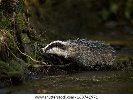 European badger (Meles meles)      - stock photo