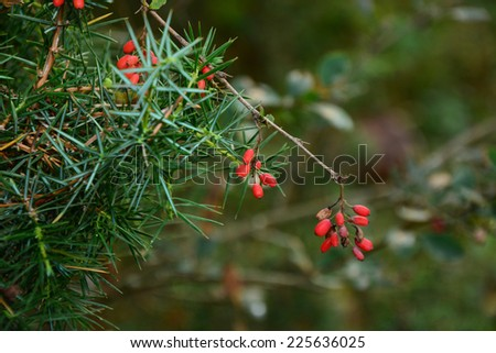 European barberry and conifer branches - stock photo