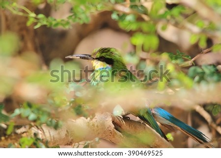 European Bee-eater - African Exotic Wild Bird Background - Green and Blue
