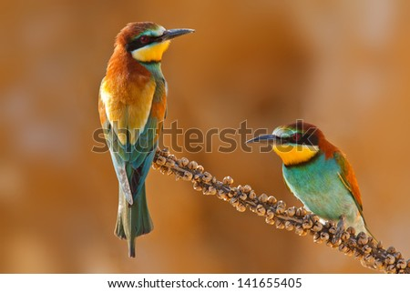 European bee-eater couple on a branch, Merops apiaster. Shallow depth of field and bakground blurred - stock photo