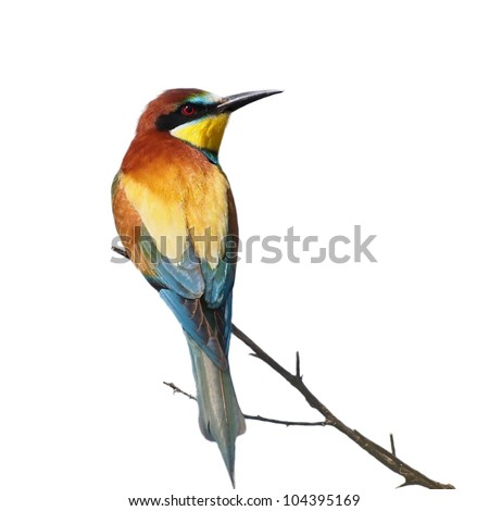 European bee-eater isolated on white background, Merops apiaster - stock photo
