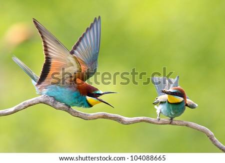 european bee-eater (Merops Apiaster) - stock photo