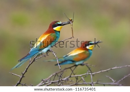 European bee-eater (Merops apiaster) - stock photo