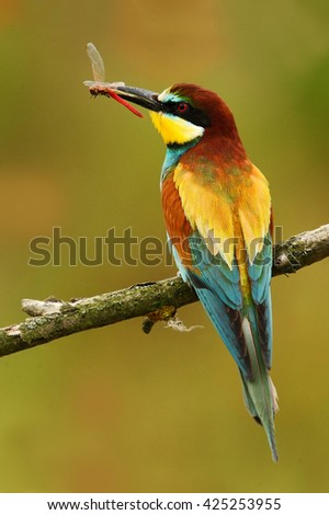 European Bee-eater, Merops apiaster, beautiful bird sitting on the branch with dragonfly in the bill. Action bird scene in the nature habitat, Hungary. Bird with catch dragonfly. Dragonfly in the bill