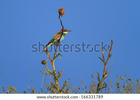 european bee eater (Merops Apiaster) on the branch - stock photo