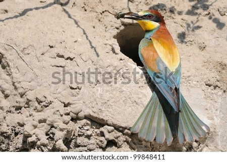 European Bee-eater (Merops apiaster) on the nest with prey - stock photo