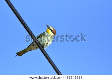 European bee-eater (Merops Apiaster) outdoor on branch - stock photo