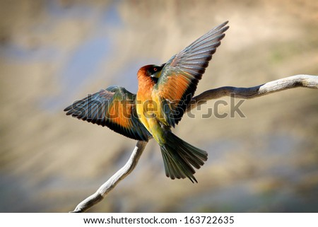European Bee-eater  (Merops apiaster) Segovia, Spain  - stock photo