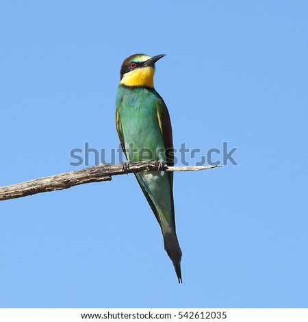 European bee-eater (Merops Apiaster) sitting on a branch in the Kruger National Park, South Africa
