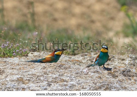 european bee eater (Merops Apiaster) with a dragonfly  - stock photo