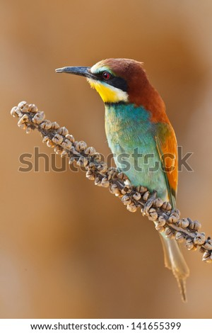 European bee-eater on a branch, Merops apiaster. Shallow depth of field and bakground blurred - stock photo