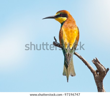 European Bee-eater on a dead branch with copy space to left with soft blue and white background