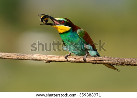 European bee-eater with a bee in a beak on a beautiful background - stock photo