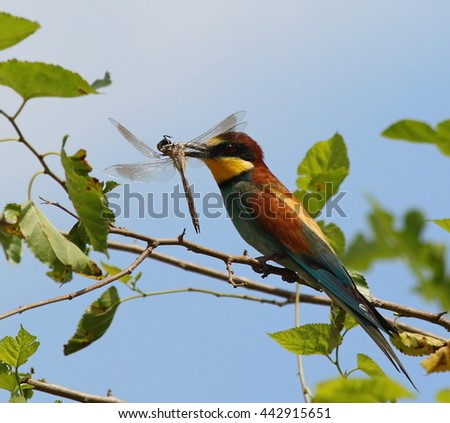 European bee-eater with prey Dragonfly, Merops apiaster - stock photo