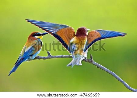European bee-eaters - stock photo