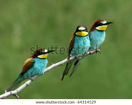 European bee-eaters alighted on a twig - stock photo