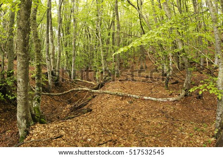 European beech (Fagus sylvatica) forest, wood, natural landscape. Liguria. Italy.