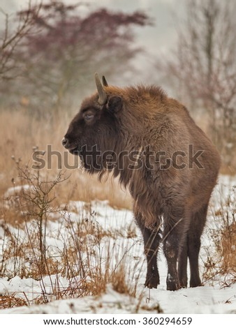 European bison - stock photo
