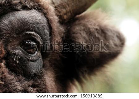 European bison (Bison bonasus)  - eye close up - stock photo