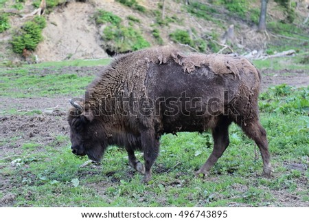 European Bison (Bison bonasus) in Bieszczady National Park, Poland