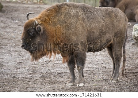 european bison buffalo close up portrait
