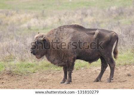 European Bison Bull in autumn