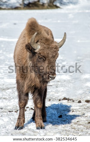 european bison calf puppy portrait on snow background
