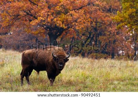 European bison in Autumn,  Latin: Bison bonasus - stock photo
