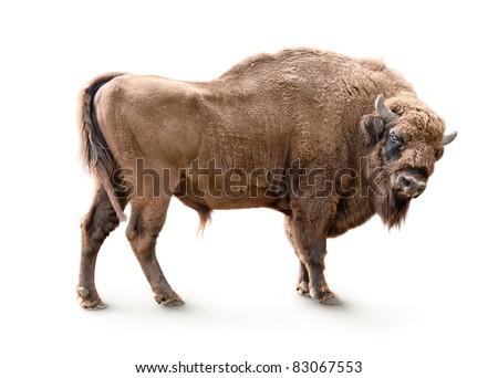european bison isolated on white background - stock photo