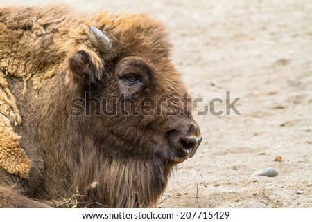 European bison lying on the ground (wisent) closeup - stock photo