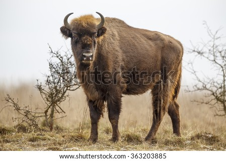 European bison stands on the horizon