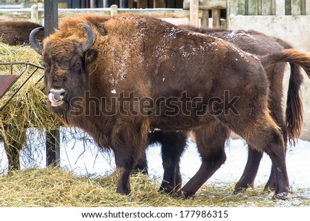 European bison (wisent) amusing with tongue in nostril - stock photo