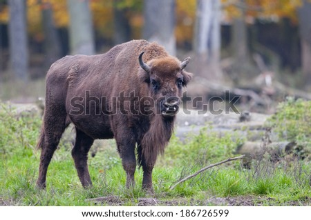 European bison, wisent  (Bison bonasus) - stock photo