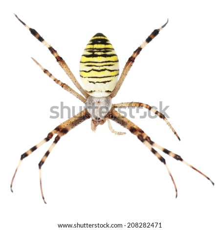 European Black and Yellow Garden Spider isolated on white background - stock photo