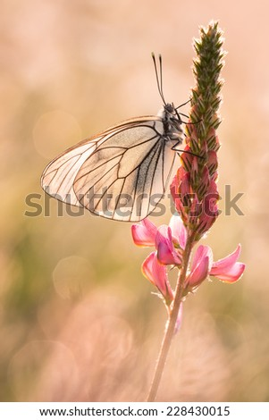 European Black-veined White butterfly versus light - Aporia crataegi - stock photo