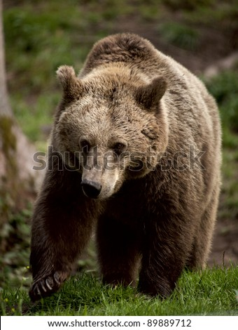 European Brown Bear captive breeding in sanctuary in Germany