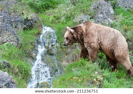 european brown bear going to drink water from a mountain brook