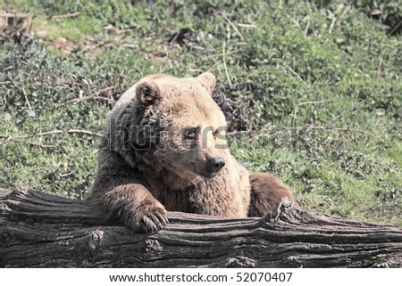 European brown bear resting against a fallen tree trunk