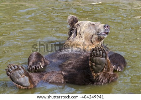 European brown bear (Ursus arctos arctos) lies supine in the water
