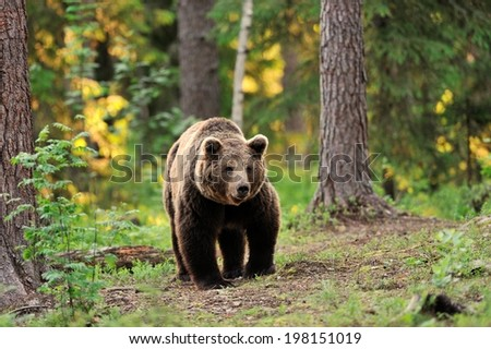 European brown bear walking in forest - stock photo