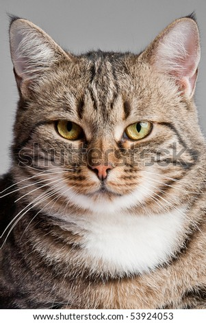 European cat in front on a gray background - stock photo