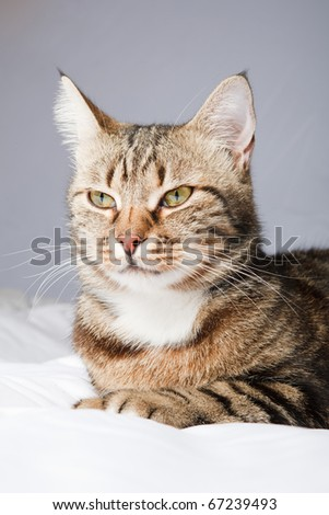 European cat in front on a gray background